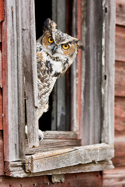Great horned owl peering out of an old barn window. Has appeared a few times in the Western Showcase Gallery at Calgary Stampede