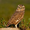 Burrowing Owl (Athene cunicularia) This owl is found in the southern areas of Florida and Texas. Image taken in Florida.