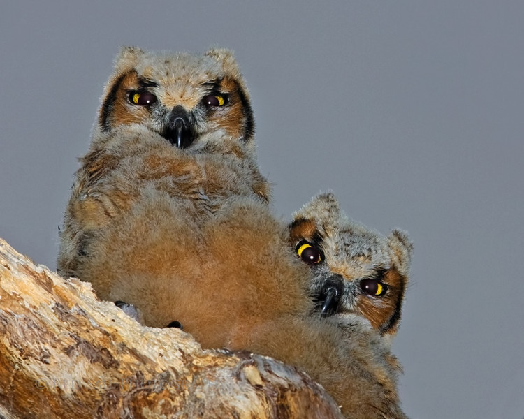 Bert and Ernie.. Baby Great Horned Owls.