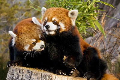 "This pair of Red Pandas at the Calgary Zoo will hopefully produce offspring as part of the ""Species Survival Program"", but now, it's simply feeding time."