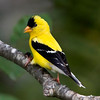 American Goldfinch male, enjoying a blackoil sunflower seed. The shell in his left foot.