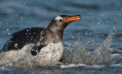 Gentoo Penguin (Pygoscelis papua). Saunders Island, Falkland Islands.