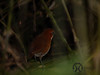 Antpitta, Red and White - P1180507