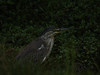 Heron, Striated - P1220370