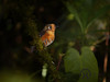 Antpitta, Rusty-breasted - P1180381