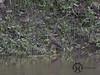 Ani, Smooth-billed - P1200328