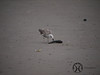 Gull, Kelp (juv ) - P1220182