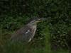 Heron, Striated - P1220369