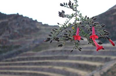 Pisac Flower