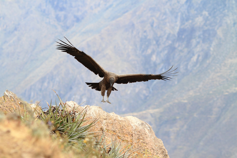 Condor Landing, Colca Canyon Peru<br /> <br /> What a gorgeous bird.  Watching the condors in flight was truly awesome.<br /> <br /> Daily photo: August 11, 2011, taken August 5, 2011