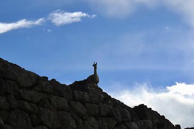 Alpaca on Lookout