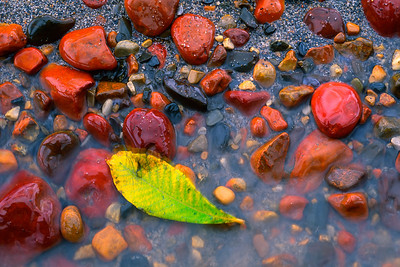 A leaf changing color on the shoreline of the Snake River, Yukon, near a group of multi-covered rocks.