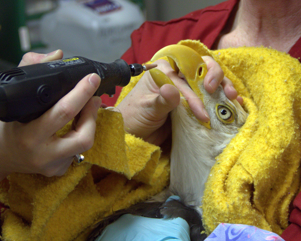 Heather uses her finger to hold Petra's mouth open so she can trim the lower beak.