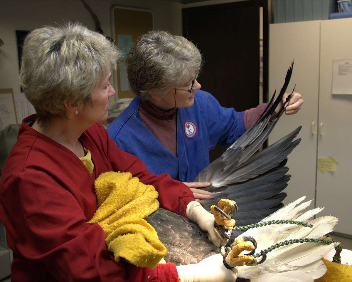 Examining the wings and feathers.