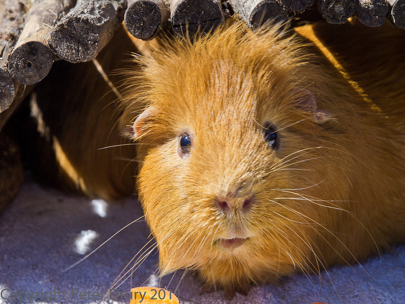 20 August 2011 Our pet Guinea pigs Ralph.