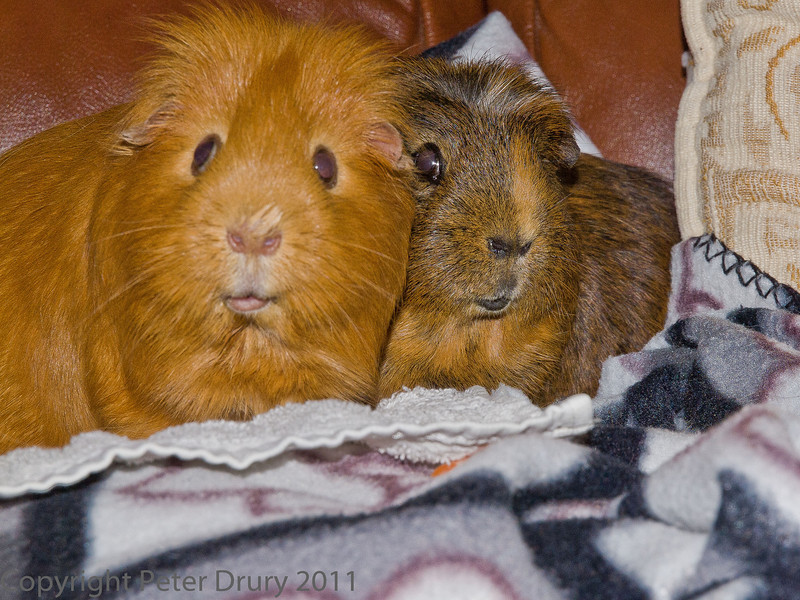 20 August 2011 Our pet Guinea pigs Ralph and Pip.