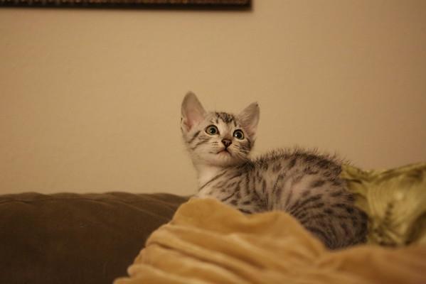 Kitten (at Breeder's House)