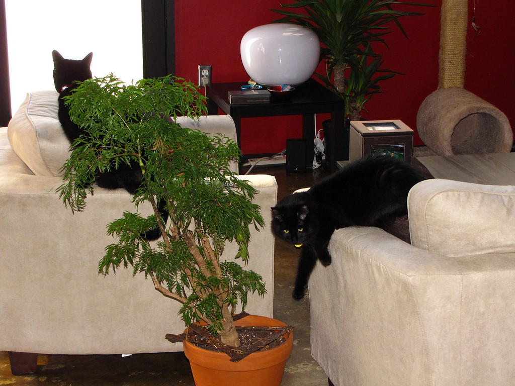 Mephisto and Nero after we bought the white living room furniture.
