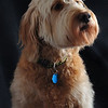 LeeLoo (Goldendoodle)