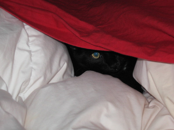 Nero playing inside the comforter on the bed.