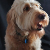 LeeLoo (Goldendoodle)