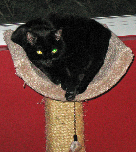 Mephisto lounging on the cat tower.