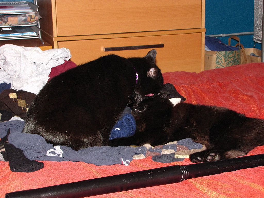 Mephisto cleaning Nero, while they're both on top of the clean laundry we needed to fold.