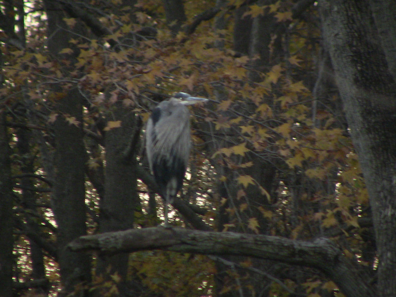 Great Blue Heron perched on a branch at Tinicum National Wildlife Reguge (now named Heinz).