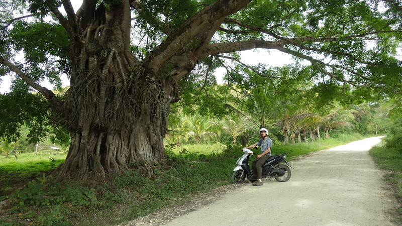 Bohol Chocolate Hills driving through banyon tree 1