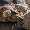 Two female Galapagos tortoises. They keep the male in a different area - his name is Elvis.