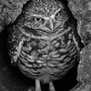 Burrowing Owl - Phoenix Zoo