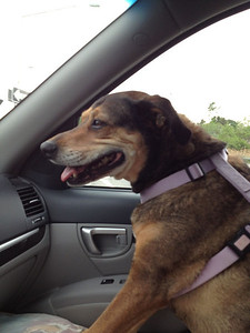 Heading for a cheeseburger after a visit to the vets. Riding shotgun 1st time