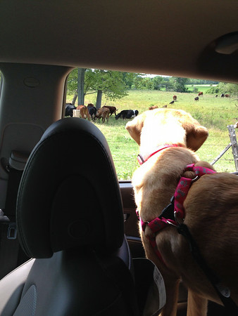 Cow watching