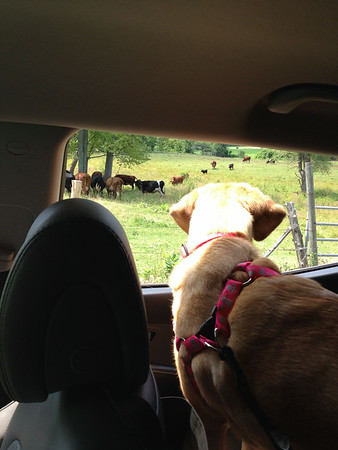 Cow watching from Gramps car