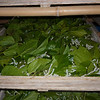 Trays of silkworms eating mulberry leaves