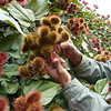 Annatto plants, used as natural dye