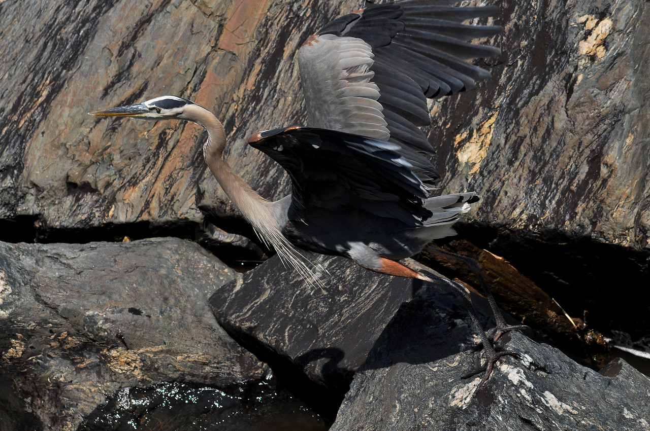 June 12th,  Found that Great Falls on the Maryland side seems to be a hot spot for Great Blue Heron.  There must have been almost a dozen out on the rocks just under the overlook.