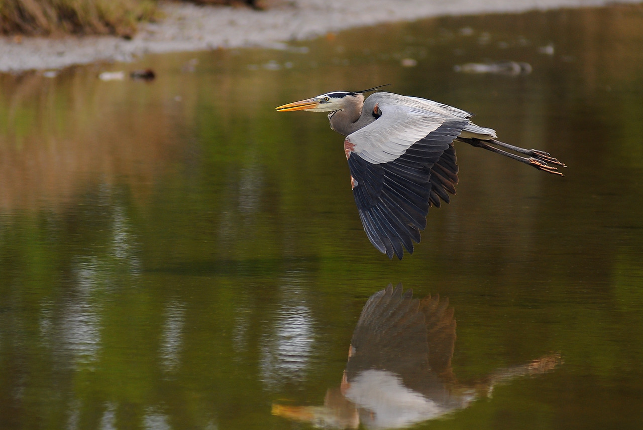 May 8th,  I finally got a few good shots of some Great Blue Heron.  A friend and I have stalked these birds for weeks now, and it paid off for me today.  Got the shutter speed, aperture, right lighting, and ISO to come together this morning. The background isn't even to bad.  I think they just got tired of us and let us get these pictures so we would leave them alone.  Next to try to get them feeding!  This may take all summer to get!  Still having fun though!!!
