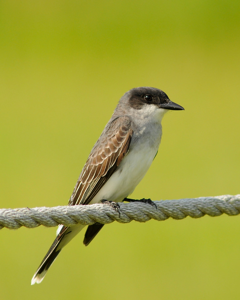 "May 15th,  While looking for some Osprey to photograph, I ran into this little fellow.  I believe he is a Eastern Kingbird.  It was very nice of him to sit a few for some pictures.  For more bird pictures....<a href=""/gallery/1516292_ykuRx#537405761_UvKPU"">Click Here</a>"