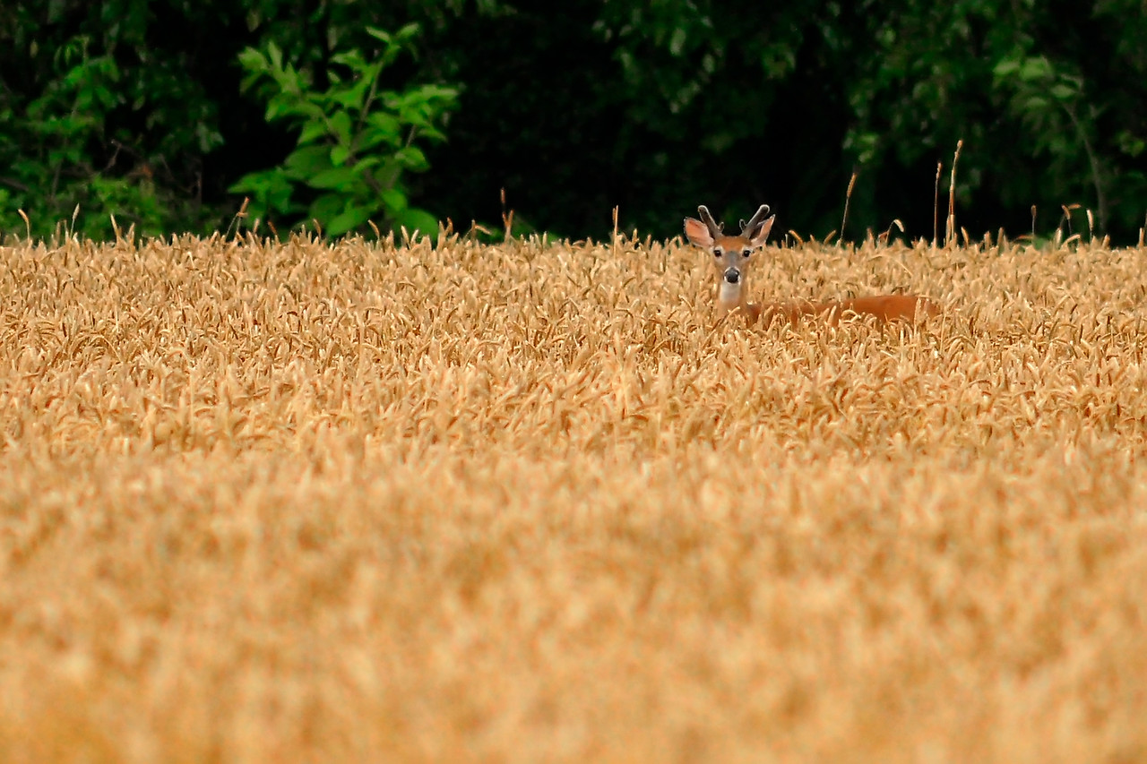 "June 19th,  Went be a friends house to see if the field near his house had a few deer in them.  We drove about five miles total and were gone about an hour, and we figure we saw near, if not over 200 deer.  They were mostly hidden in fields of wheat, and corn, but we did find a larger group in some soybean fields that were close to the road.   To see a few more....  <a href=""/gallery/5730901_th6CM#567929038_NHqh3"">Click Here</a>"