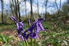Early bluebell