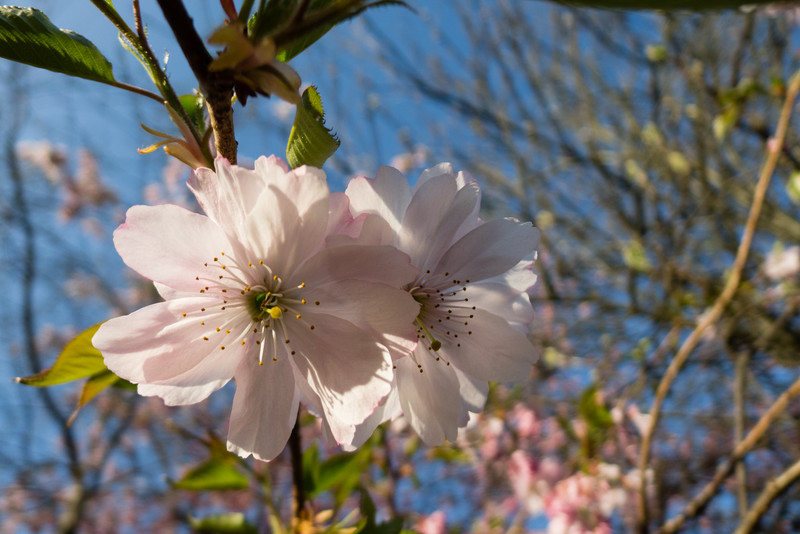 March Blossom
