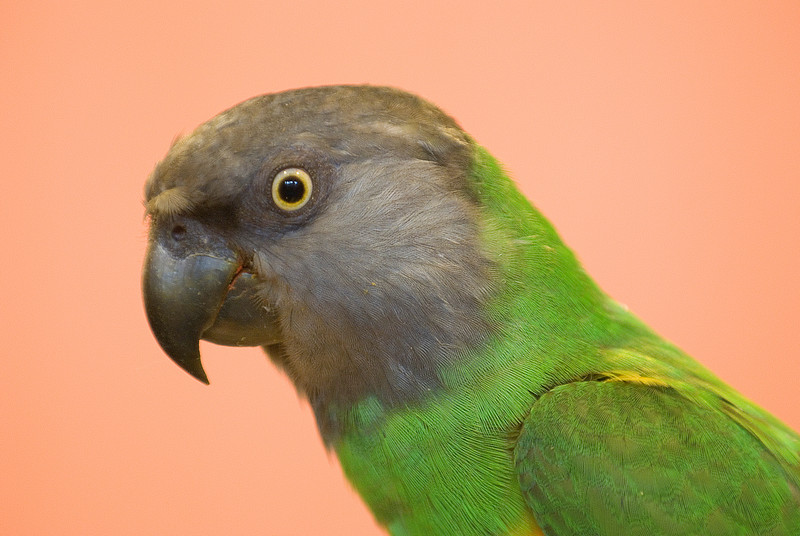Steven Senegal. Steve is a robin-sized Senegal parrot and is a very photogenic, if uncooperative model.