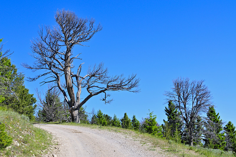 A gnarled old tree on Call Road #290 greets the visitor to the Gravelly Range on latest trip, July 8, 2010