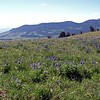 Blue Lupine on a high ridge