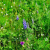 Blue Lupine just starting to show on Gravelly Range
