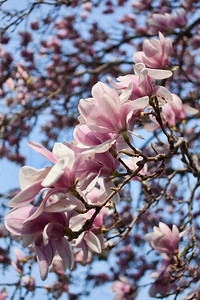 Sunday April 11th 2010 Couldn't join my photo pals at Lakeview Cemetery for a shoot, so I settled for the magnolia tree in my yard!