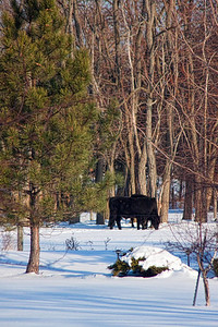 Cows January 14,2010 Thursday
