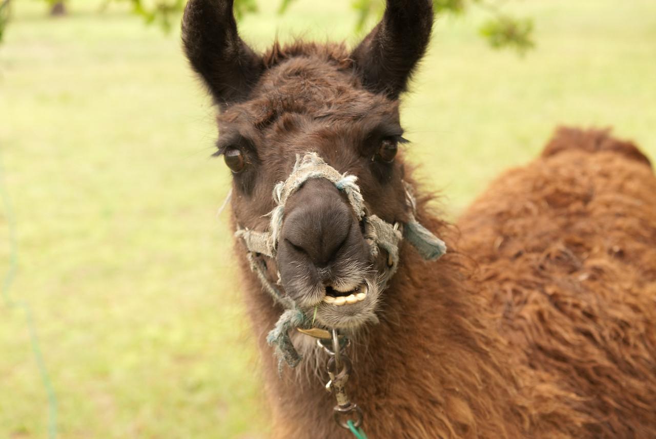 Torkle the Lama. Need I say more?
