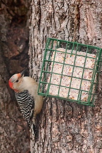 Tuesday Febuary 2nd, 2010 I hung the suet yesterday and was rewarded today with this Red-bellied Woodpecker